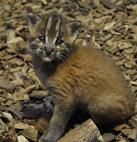 asian-golden-cat3-674x700.jpg