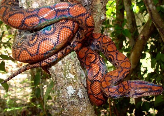 brazilskij-raduzhnyj-udav-zhizn-v-prirode-i-v-terrariume-animal-reader.ru-001-1024x726.jpg