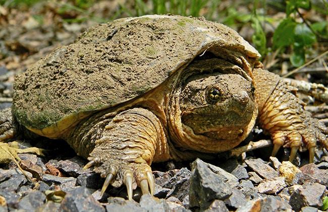 10Каймановая-черепаха.jpg