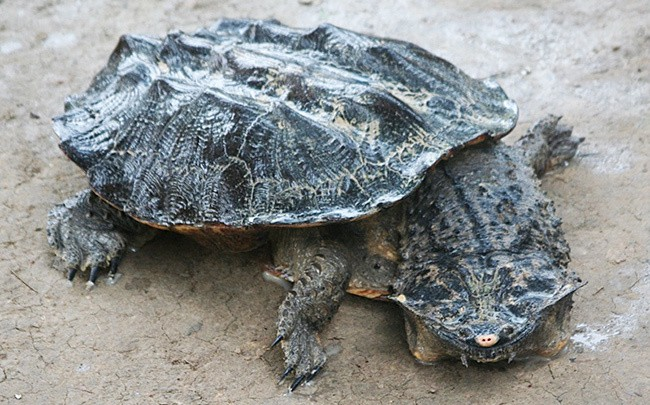 8Бахромчатая-черепаха.jpg
