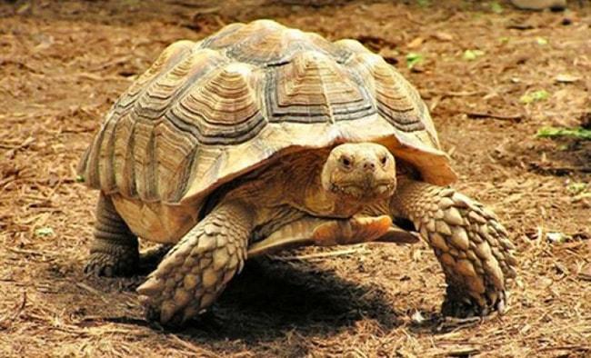 7Шпороносная-черепаха.jpg