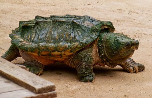 4Грифовая-черепаха.jpg