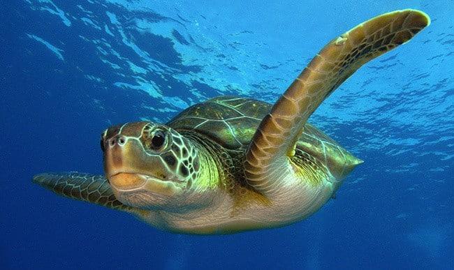 3Зелёная-черепаха.jpg