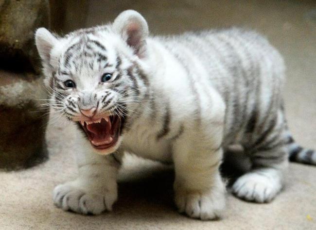 tigryonok-albinos.jpg