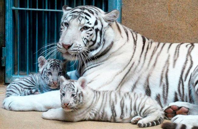 para-tigr-albinos.jpg