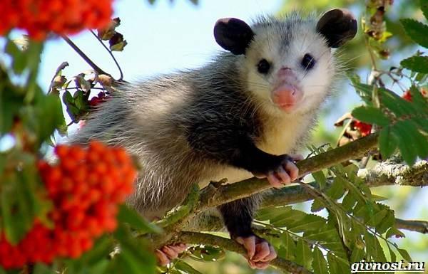 opossum-zhivotnoe-obraz-zhizni-i-sreda-obitaniya-opossuma-1.jpg