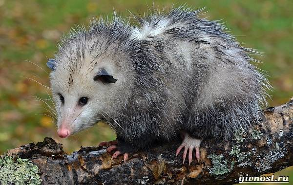 opossum-zhivotnoe-obraz-zhizni-i-sreda-obitaniya-opossuma-2.jpg