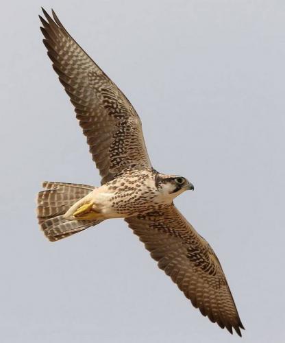 Средиземноморский-сокол-в-полете-фото-лат.-Falco-biarmicus.jpg