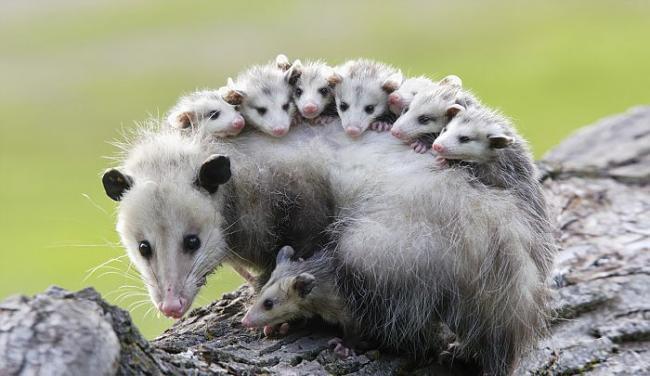 поссумы и опоссумы, милые животные