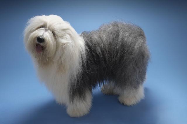 Собака-бобтейл-1.jpg