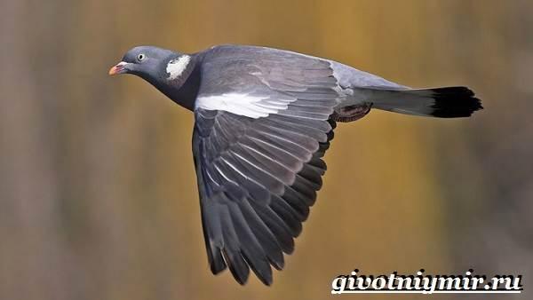 vyaxir-dikij-golub-obraz-zhizni-i-sreda-obitaniya-vyaxirya-2.jpg