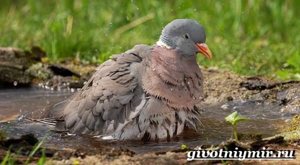 vyaxir-dikij-golub-obraz-zhizni-i-sreda-obitaniya-vyaxirya-5.jpg