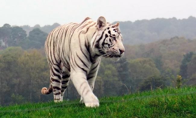 gde-zhivyot-tigr-v-kakoy-strane.jpg