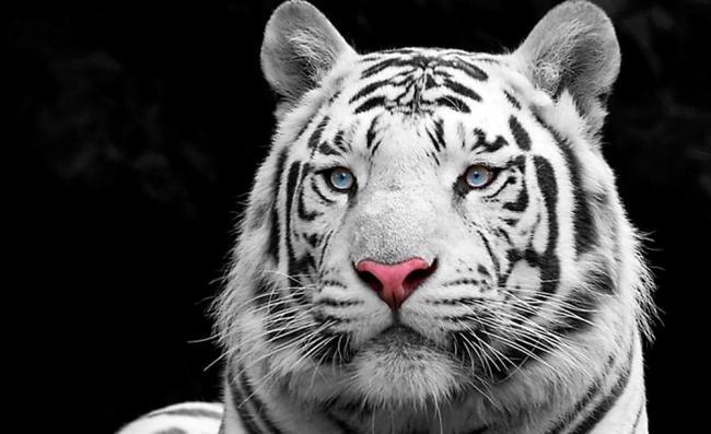 bengalskaya-poroda-tigra.jpg