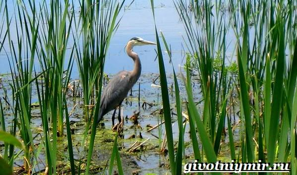 pticy-bolot-opisanie-nazvaniya-i-osobennosti-ptic-bolot-1.jpg