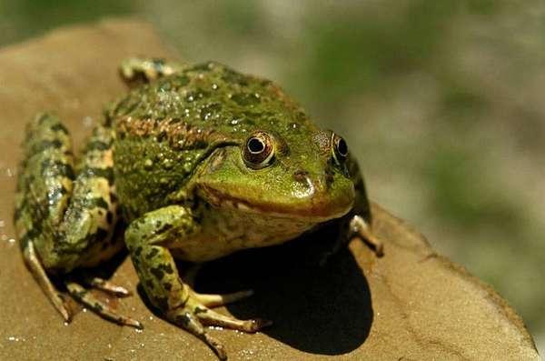 Лягушка – описание, виды, где обитает, чем питается, фото