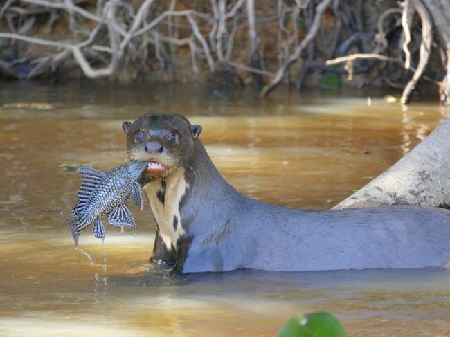 Гигантская выдра: как зверьки наводят ужас на пираний, кайманов и даже анаконд