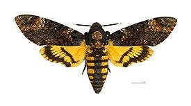 275px-Acherontia_atropos_MHNT_dos.jpg