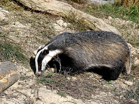 275px-%27Honey%27_the_badger_in_daylight.jpg