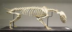 im244-320px-European_badger_%28Meles_meles%29_skeleton_at_the_Royal_Veterinary_College_anatomy_museum.JPG