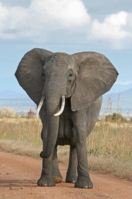 266px-African_Bush_Elephant.jpg