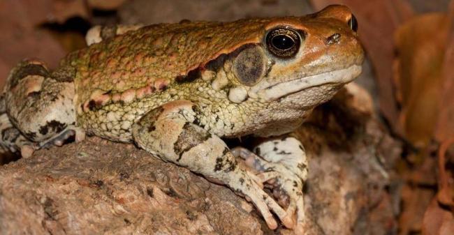 Африканская-красная-жаба-фото-1024x532.jpg