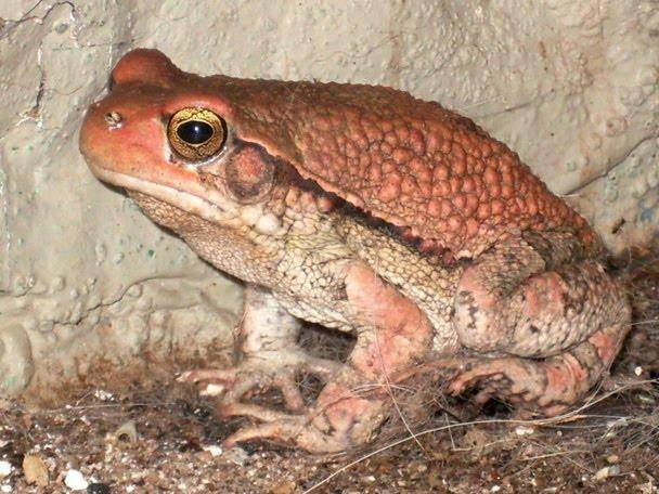 Африканская-красная-жаба.jpg