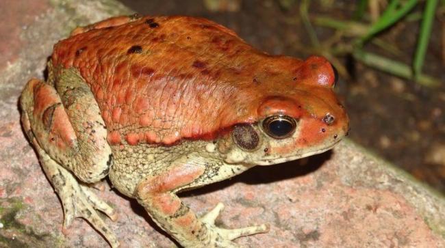 Фото-африканской-красной-жабы-1024x573.jpg
