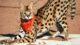 serval-cat1-80x45.jpg