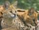 serval-cat-11-80x62.jpg
