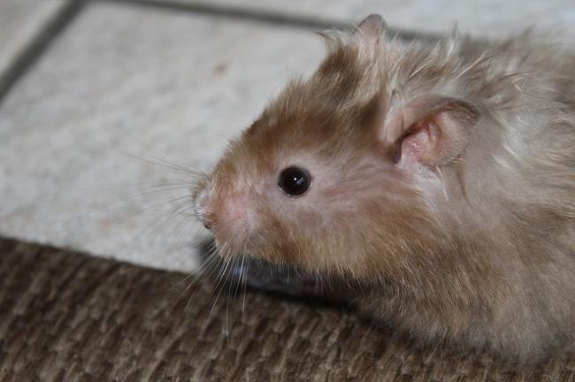 hamster-gryaz.jpg