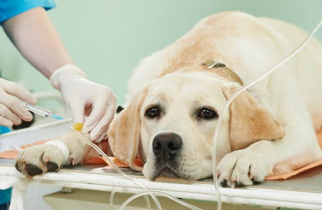 transfusion-sanguinea-en-perros.jpg