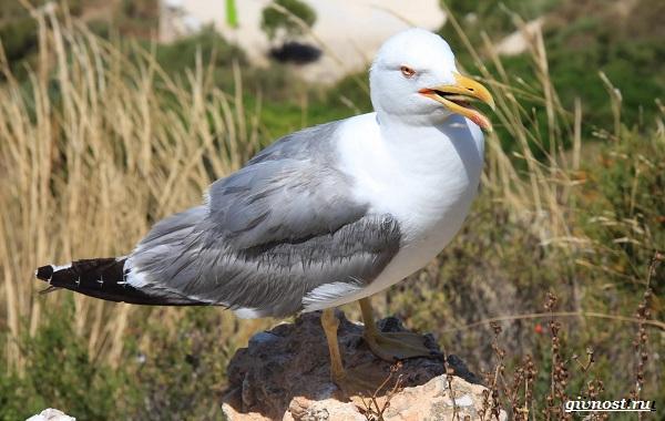 chajka-ptica-opisanie-osobennosti-vidy-i-sreda-obitaniya-pticy-chajki-1.jpg
