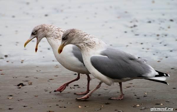 chajka-ptica-opisanie-osobennosti-vidy-i-sreda-obitaniya-pticy-chajki-4.jpg