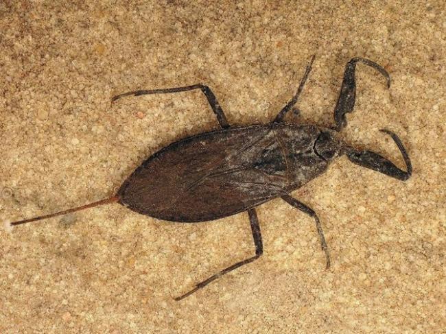1431590838_vodyanoy-skorpion-670x503.jpg