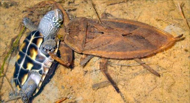 chem-pitaetsya-vodyanoj-skorpion.jpg
