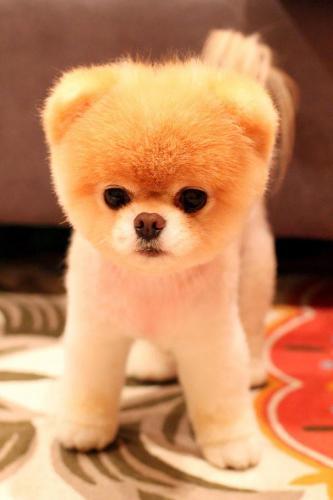 щенки похожие на медвежат, Puppies That Look Like Teddy Bears