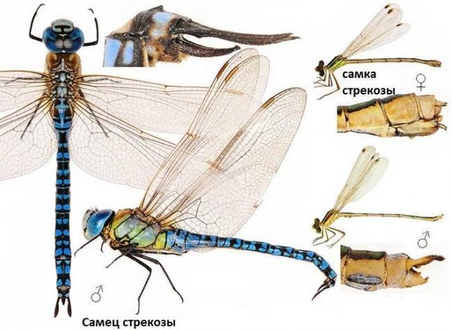Строение-самца-и-самки-стрекозы.jpg