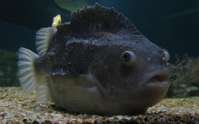 рыба-пинагор-1.jpg