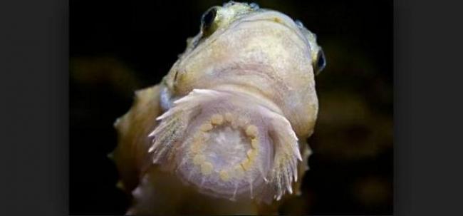 рыба-пинагор-2.jpg