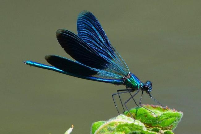 Синяя-стрекоза-Блестящая-красотка-Calopteryx-splendens-1024x683.jpg