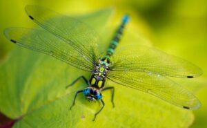 female_dragonfly1-300x185.jpg