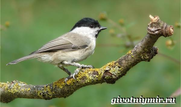 burogolovaya-gaichka-ptica-obraz-zhizni-i-sreda-obitaniya-burogolovoj-gaichki-11.jpg