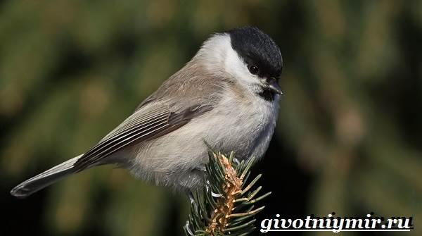 burogolovaya-gaichka-ptica-obraz-zhizni-i-sreda-obitaniya-burogolovoj-gaichki-1.jpg