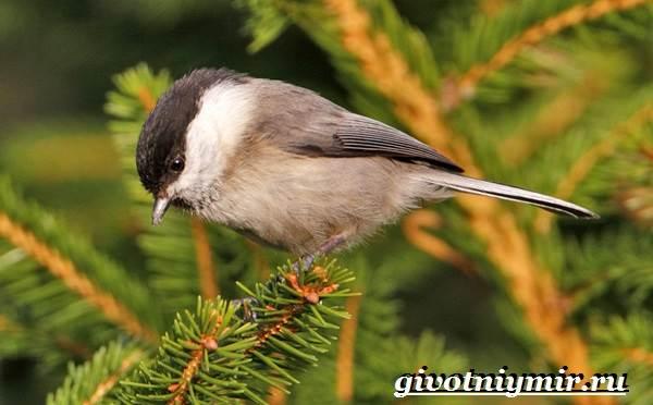 burogolovaya-gaichka-ptica-obraz-zhizni-i-sreda-obitaniya-burogolovoj-gaichki-3.jpg