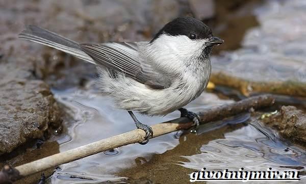 burogolovaya-gaichka-ptica-obraz-zhizni-i-sreda-obitaniya-burogolovoj-gaichki-5.jpg