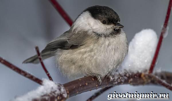 burogolovaya-gaichka-ptica-obraz-zhizni-i-sreda-obitaniya-burogolovoj-gaichki-7.jpg