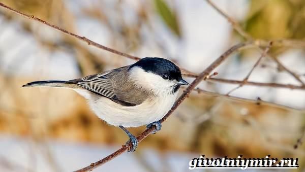burogolovaya-gaichka-ptica-obraz-zhizni-i-sreda-obitaniya-burogolovoj-gaichki-8.jpg
