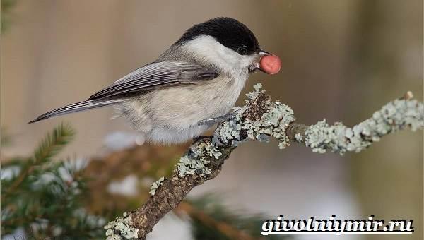 burogolovaya-gaichka-ptica-obraz-zhizni-i-sreda-obitaniya-burogolovoj-gaichki-9.jpg