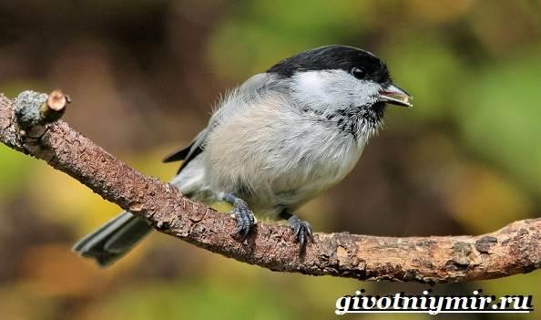 burogolovaya-gaichka-ptica-obraz-zhizni-i-sreda-obitaniya-burogolovoj-gaichki-10.jpg
